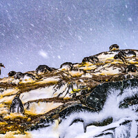 Buy canvas prints of Snowing Gentoo Penguins Rookery Mikkelsen Harbor Antarctica by William Perry