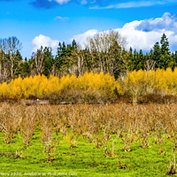 Buy canvas prints of Bushes Larsen Lake Blueberry Farm Park Bellevue Washington by William Perry