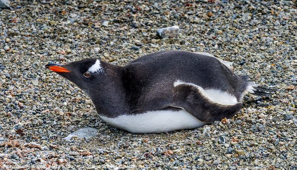 Gentoo Penguin Damoy Point Antarctica Framed Print by William Perry