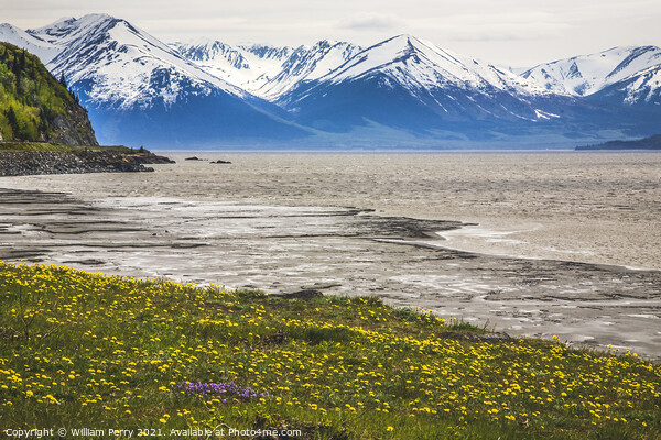 Snow Mountains Yellow Flowers Ocean Seward Highway Anchorage Ala Framed Print by William Perry
