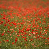 Buy canvas prints of Poppy Field by Wayne Molyneux