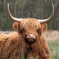 Buy canvas prints of Woolly Highland cow by Christopher Keeley
