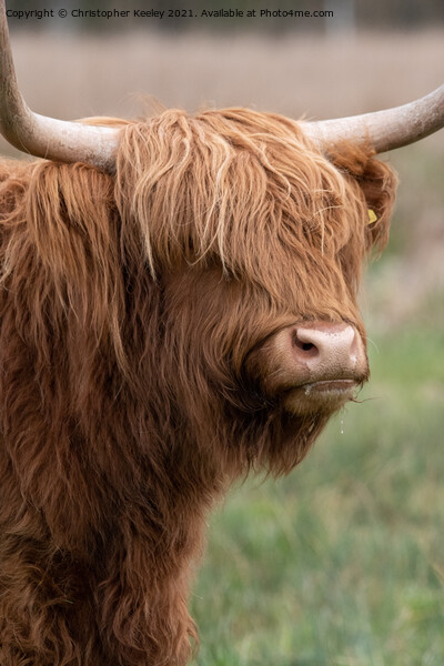Highland cow portrait Acrylic by Christopher Keeley