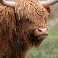 Buy canvas prints of Highland cow portrait by Christopher Keeley