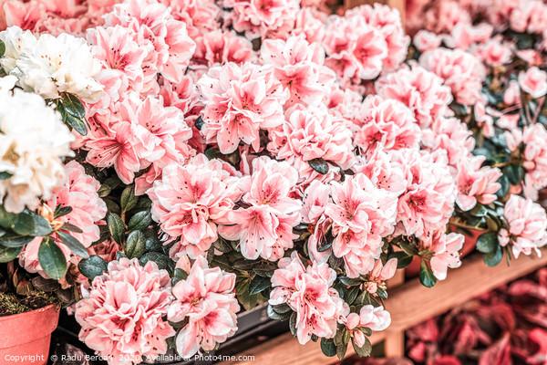 Pink Flowers, Flowers Market, Purple Flower Petals Acrylic by Radu Bercan