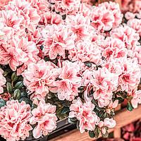 Buy canvas prints of Pink Flowers, Flowers Market, Purple Flower Petals by Radu Bercan