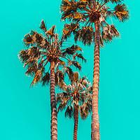 Buy canvas prints of Palm Spring Trees, Summer Vibes, California Beach by Radu Bercan
