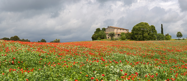 Poppies field around a rural country house in Cata Print by Pere Sanz