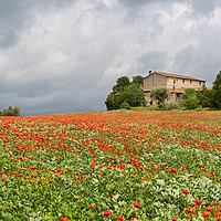 Buy canvas prints of Poppies field around a rural country house in Cata by Pere Sanz