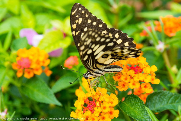 Lime butterfly (Papilio Demoleus Malayanus) Canvas Print by Nicolas Boivin