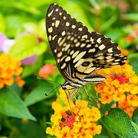 Buy canvas prints of Lime butterfly (Papilio Demoleus Malayanus) by Nicolas Boivin