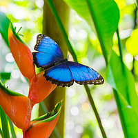Buy canvas prints of Blue morpho butterfly by Nicolas Boivin