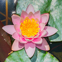 Buy canvas prints of Water lily at botanical garden in Funchal by Nicolas Boivin