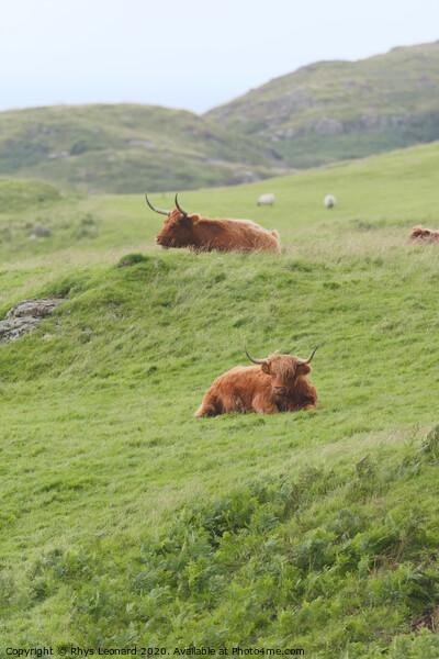 Portrait two male highland cattle bulls lye amongst windswept grass Framed Print by Rhys Leonard