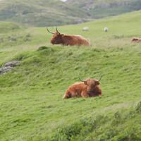 Buy canvas prints of Portrait two male highland cattle bulls lye amongst windswept grass by Rhys Leonard
