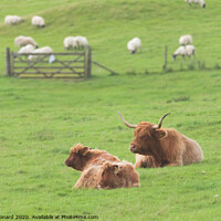 Buy canvas prints of Agricultural rural scene, trio family of highland cattle by Rhys Leonard