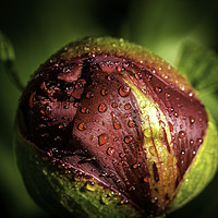 Buy canvas prints of Dark red Peony bud by Don Nealon