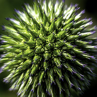 Buy canvas prints of Blue globe thistle by Don Nealon