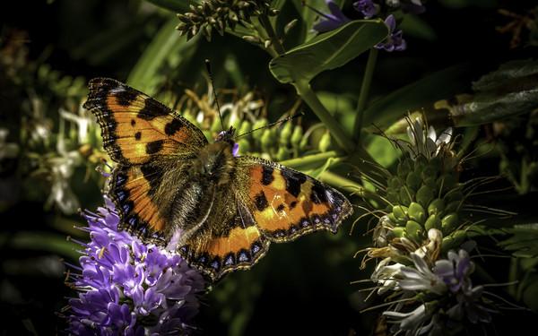 Small Tortoiseshell Butterfly Print by Don Nealon
