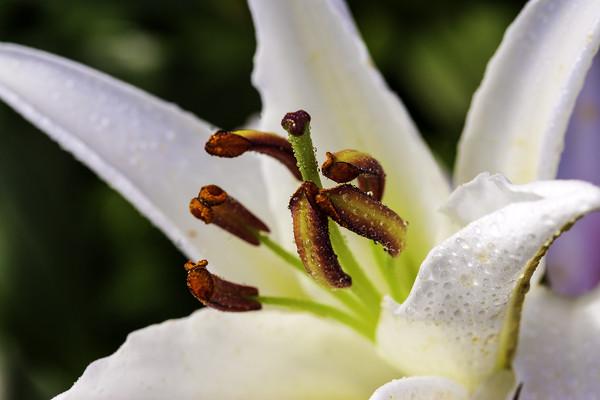 White Lily Print by Don Nealon