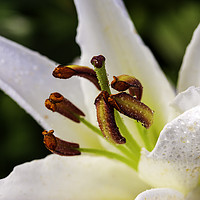 Buy canvas prints of White Lily by Don Nealon