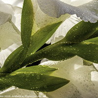 Buy canvas prints of White Gladioli plant by Don Nealon