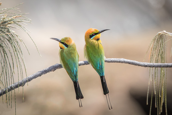 Rainbow Bee-eaters Resting Framed Mounted Print by Pete Evans