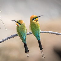 Buy canvas prints of Rainbow Bee-eaters Resting by Pete Evans