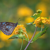 Buy canvas prints of Blue Tiger Butterfly by Pete Evans