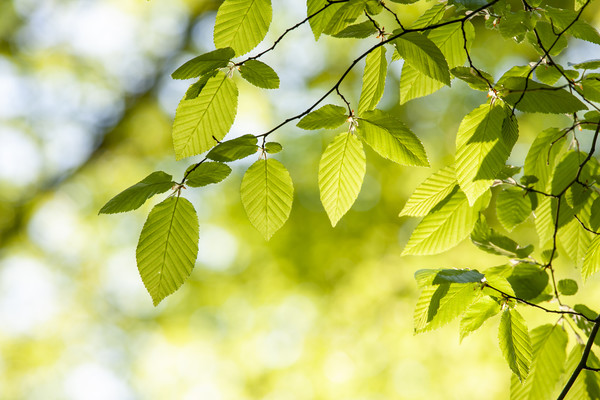 Close up of hornbeam leaves at spring Framed Mounted Print by Arpad Radoczy