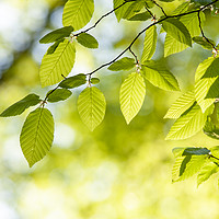 Buy canvas prints of Close up of hornbeam leaves at spring by Arpad Radoczy