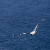 Buy canvas prints of Young seagull flying over the lake by Arpad Radoczy