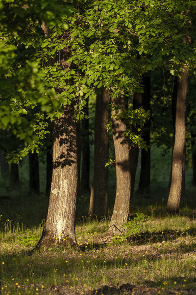 Nice oak forest detail with sunset light Print by Arpad Radoczy