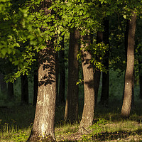 Buy canvas prints of Nice oak forest detail with sunset light by Arpad Radoczy