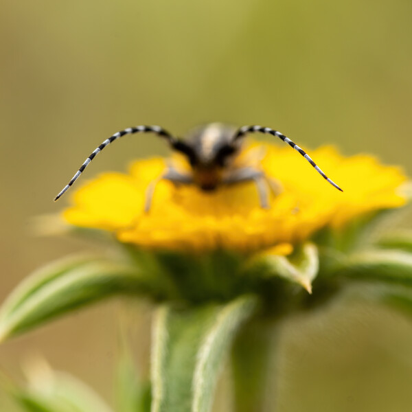 Close-up picture from small longhorn beetle on the yellow flower Canvas Print by Arpad Radoczy