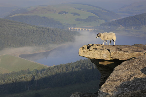 A sheep enjoying the view from Bamford edge Framed Mounted Print by MIKE HUTTON