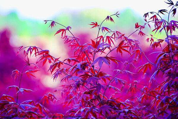 A close up of a Red Maple tree Canvas Print by Dillan Marsey