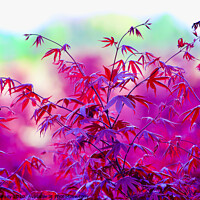 Buy canvas prints of A close up of a Red Maple tree by Dillan Marsey