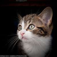 Buy canvas prints of Farm yard Kitten by Richard Ashbee