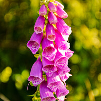 Buy canvas prints of Beautiful Foxglove flowers in Spring by Tim Snow