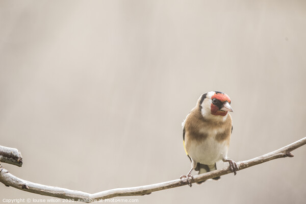 goldfinch Framed Mounted Print by louise wilson