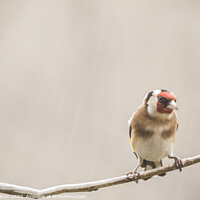 Buy canvas prints of goldfinch by louise wilson