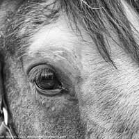 Buy canvas prints of Shire Horse Eye by Hannah Watson