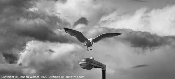 Seagull 1 Framed Print by Hannah Watson