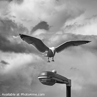 Buy canvas prints of Seagull 1 by Hannah Watson