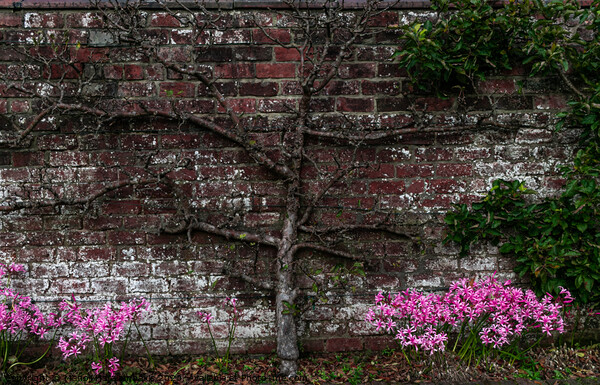 A bare tree up against a nice brick wall, with lovely pink flowers  Canvas Print by Manoli Haralambakis
