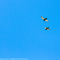 Buy canvas prints of Two birds on the sky by Sener Dagasan