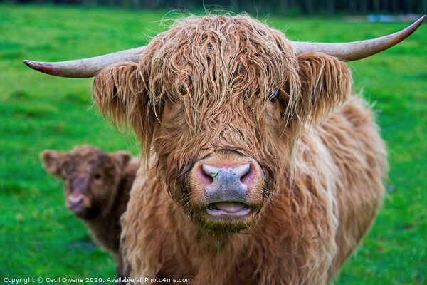 Highland cow  Canvas Print by Cecil Owens
