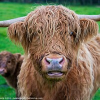 Buy canvas prints of Highland cow  by Cecil Owens
