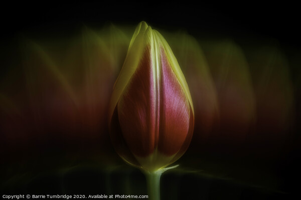 Tulip Acrylic by Barrie Tumbridge